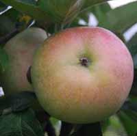 vocne-sadnice-jabuka-budimka