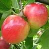 vocne sadnice jabuke prima