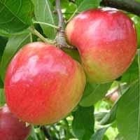 voćne sadnice jabuke prima