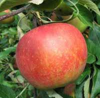 vocne-sadnice-jabuke-melrouz