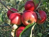 vocne sadnice jabuka kožara
