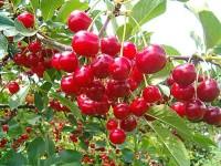 Voćne sadnice višnje - Oblačinska