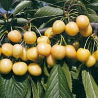 dradanova-žuta