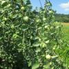 Vocne sadnice jabuke - Budimka