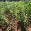 vocne sadnice jabuke