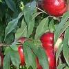 nektarina kaldezi
