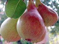 vocne-sadnice-lubenicarka