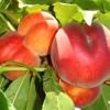 sadnice-voca-Springcrest