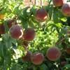 sadnice-voca-hale