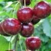 sadnice-voca-sumadinka