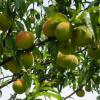 sadnice-voca-vinogradska