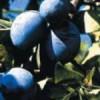 sljiva-kalifornijska-plava