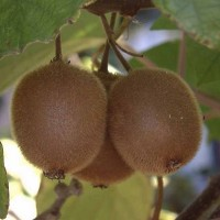 vocne-sadnice-kivi-matua