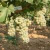 vocne-sadnice-lozni-kalemovi-rizling-italijanski
