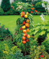 vocne-sadnice-stubasta-jabuka